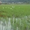 和田町の水田にコハクチョウが初飛来!!の画像