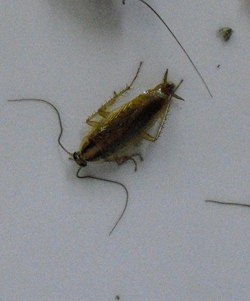 害虫・害獣から街を守るPCOの調査日記,チャバネゴキブリ