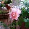 一輪のバラの画像