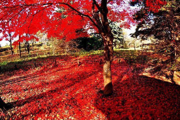 北海道の野生動植物写真-紅葉