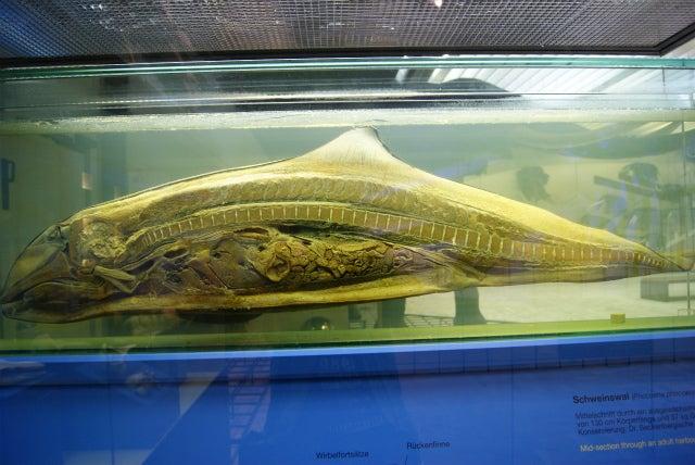 ゼンケンベルグ自然博物館の海性哺乳類のホルマリン漬け