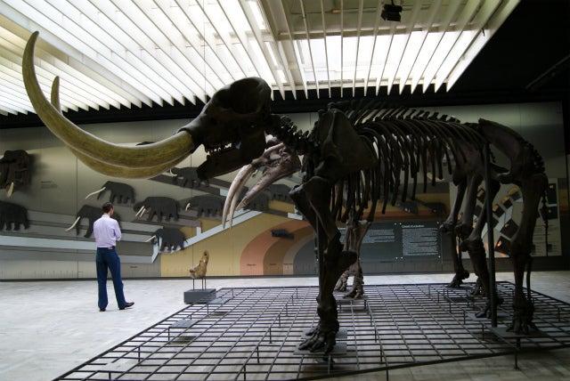 ゼンケンベルグ自然博物館の毛長マンモスの化石