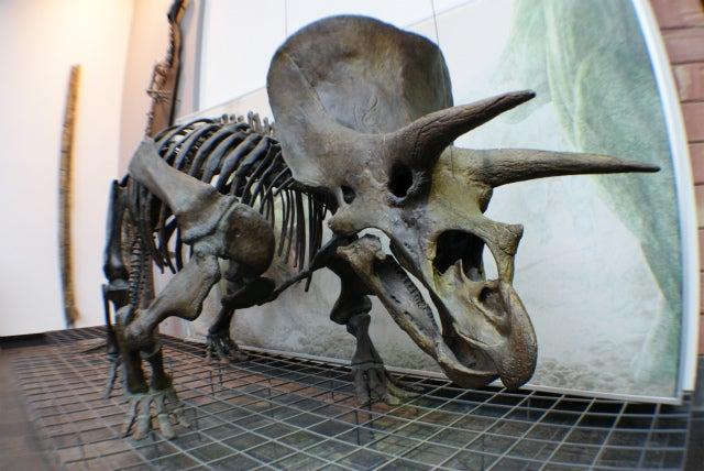 ゼンケンベルグ自然博物館のトリケラトプスの化石