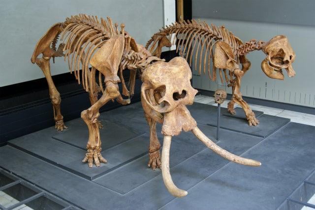 ゼンケンベルグ自然博物館のドワーフマンモス