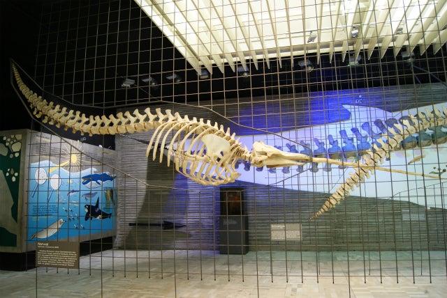 ゼンケンベルグ自然博物館のイッカクの骨格