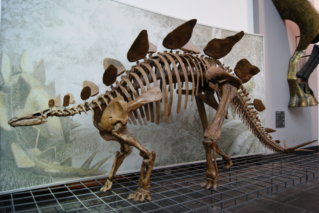 ゼンケンベルグ自然博物館のステゴサウルスの化石