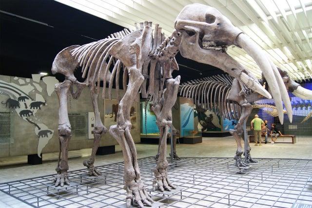 ゼンケンベルグ自然博物館のアングスチデンスゾウの化石