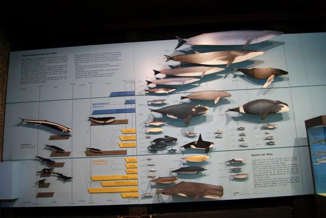 ゼンケンベルグ自然博物館の水生爬虫類・海性哺乳類の進化の図