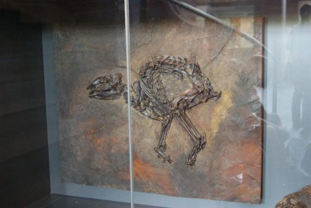 Senckenberg Naturmuseum ゼンケンベルグ自然博物館の化石