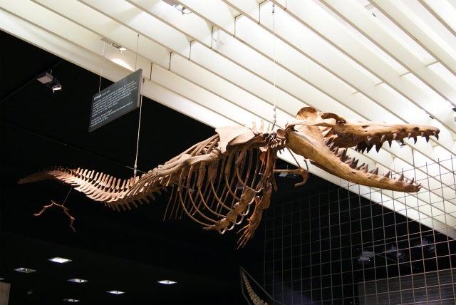 ゼンケンベルグ自然博物館の水生爬虫類の化石