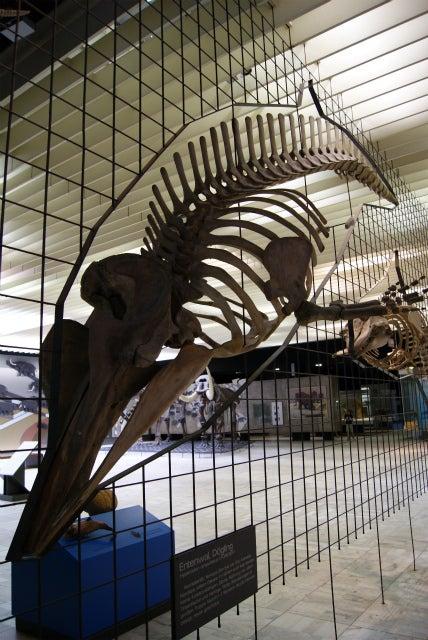 ゼンケンベルグ自然博物館の海性哺乳類の化石