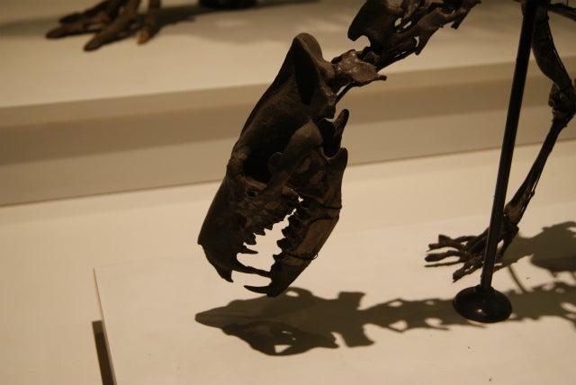 ゼンケンベルグ自然博物館の恐竜の化石