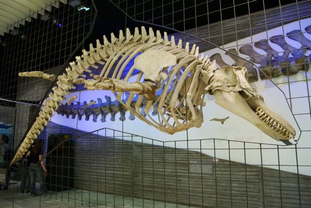 ゼンケンベルグ自然博物館の水生爬虫類、イクチオサウルスの骨格
