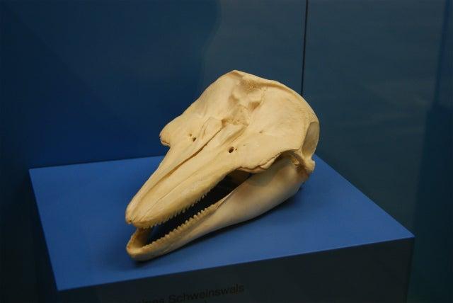 ゼンケンベルグ自然博物館の海性哺乳類の頭蓋骨