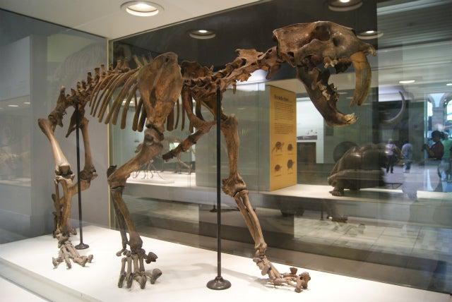 ゼンケンベルグ自然博物館のサーベルタイガーの化石