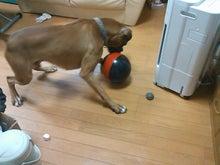ボクサー犬がやってくる-SN3I0226.jpg