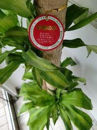 サンプラザエコ館 -エコ館通信--幸福の木