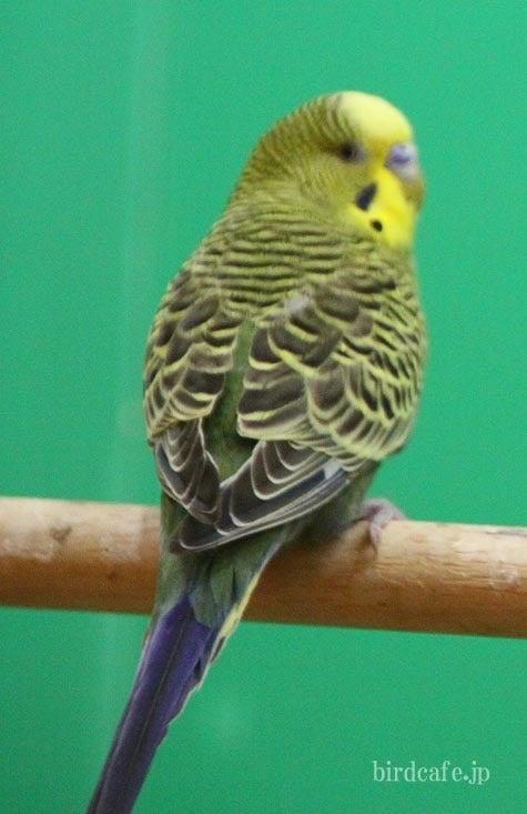 ようこそ!とりみカフェ!!~鳥の写真や鳥カフェでの出来事~-背中にしましま模様が!