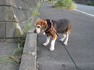 ビーグル犬パルの生活 - Beagle Pal's Life --UQ-4
