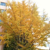 黄色く色づく大イチョ…