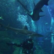 水族館でサメと潜る(…