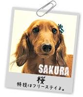 ミニチュアダックス桜のページ