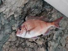 磯人の釣り釣れ報告-小鯛
