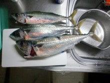 磯人の釣り釣れ報告-大サバ3兄弟