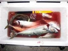 磯人の釣り釣れ報告-Fクーラー