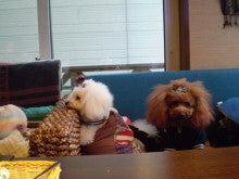 トイプードル家族4匹との生活
