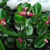 12月26日 誕生花の画像