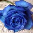 冷静な情熱の青い薔薇