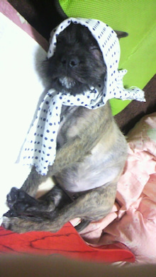 ミックス犬(柴犬×ボストンテリア) ミルモの日記-2011010213460000.jpg