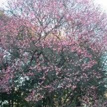 梅の花が咲き初めてま…
