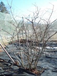 オーベルジュスタッフの高原便り-ブルーベリーの木