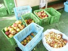 オーベルジュスタッフの高原便り-りんごの選別
