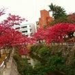 那覇も桜が満開っ!!…