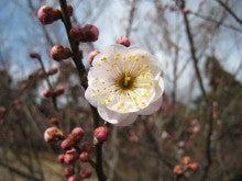 センダイのブログ-梅の花4
