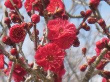 センダイのブログ-梅の花2