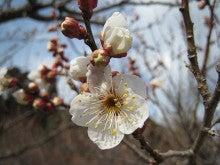 センダイのブログ-梅の花3