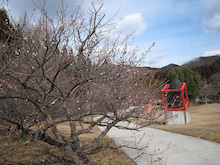 センダイのブログ-梅の花