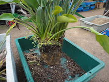 「観葉植物生産者」のブログ