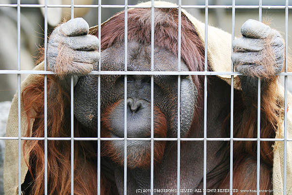 動物写真ブログ ANIMAL SPIRIT-オランウータン