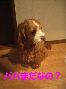 ミックス犬キャバプーpoanの成長日記~poan日和~