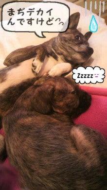 ミックス犬(柴犬×ボストンテリア) ミルモの日記-image0011.jpg