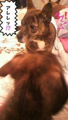 ミックス犬(柴犬×ボストンテリア) ミルモの日記-image0008.jpg