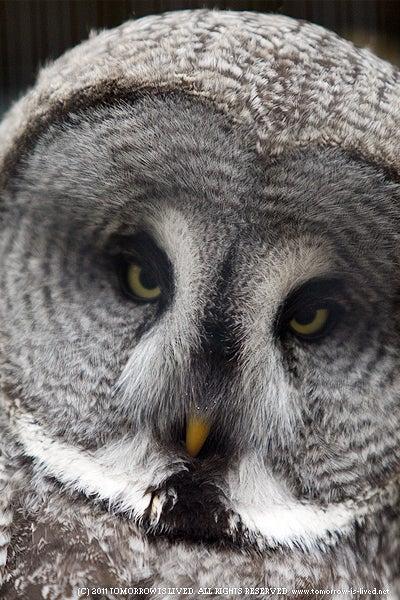 動物写真ブログ ANIMAL SPIRIT-カラフトフクロウ