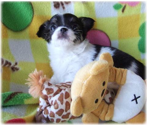 $Blog de Blue Ribbon Style ★ Chihuahua breeds.