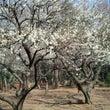 公園の梅の木