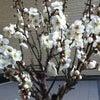 梅の花の画像